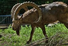Siberian Ibex.jpg