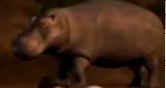Superbook Hippo
