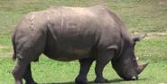 Tampa Safari Rhino