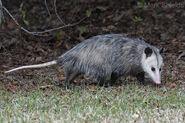 Virginia Opossom