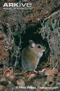 Wood-mouse-in-autumn