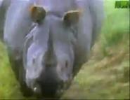 AFO Indian Rhino