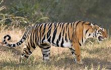 Bengal tiger 112597 234481.jpg