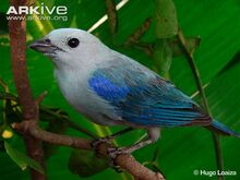 Blue-grey-tanager-perched.jpg