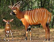Bongo-mama-calf.jpg