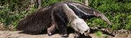 Giant-anteater (Myrmecophaga tridactyla)