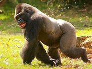 Gorilla, Western Lowland