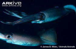 Humboldt-squid-pair.jpg