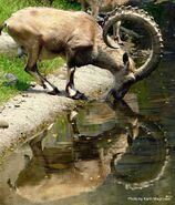 Ibex, Nubian