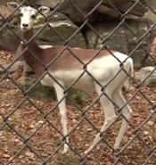 Memphis Zoo Dama Gazelle