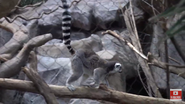Minnesota Zoo Ring-Tailed Lemur