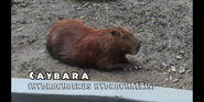 Pittsburgh Zoo Capybara