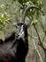 Sable-antelope-hippotragus-niger-kruger-national-park-south-africa-africa