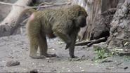 Seneca Park Zoo Baboon (V2)