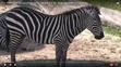 Tampa Lowry Park Zoo Grant's Zebra