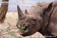 Young-eastern-black-rhinoceros-feeding
