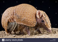 Armadillo, Brazilian Three-Banded (V2)