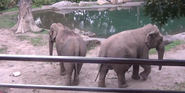Bronyx Zoo Elephants