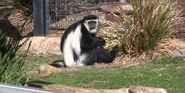 Canberra Zoo Colobus