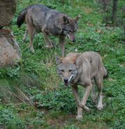 Male and Female Red Wolves