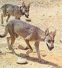 Male and female Arabian wolves