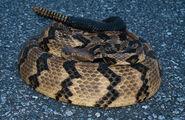 Rattlesnake, timber