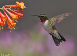 Ruby throated hummingbird 3.jpg