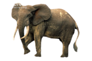 African Forest Elephant (No Background)
