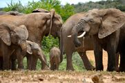 Africanelephants