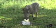Brookfield Zoo Warthog