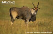 Common eland.jpg