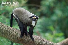 De-Brazzas-monkey.jpg