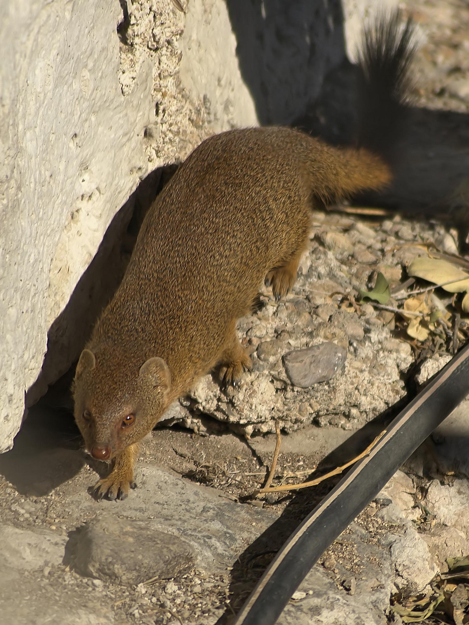 Angolan slender mongoose