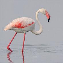 Greater flamingo by jamie macarthur-d4pqs2n.jpg