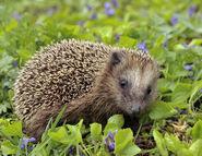 Hedgehog, European
