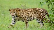 Leopard, Indian