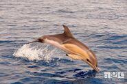 Long-beaked common dolphin calf