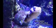 Nashville Zoo Pufferfish