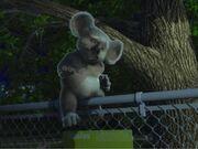 Nigel the Koala.jpg
