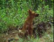 Really Wild Animals Dhole