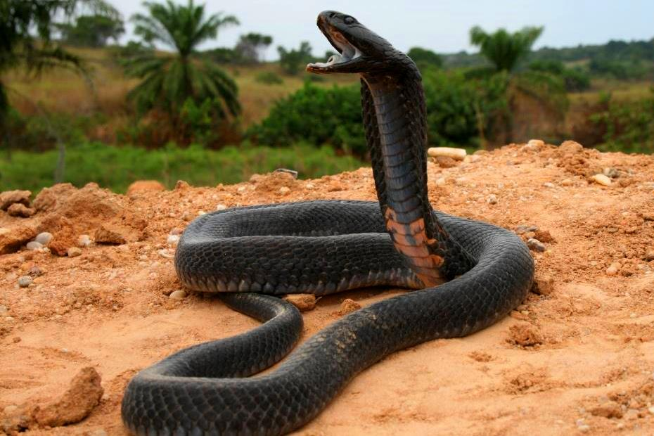 Black-Necked Spitting Cobra