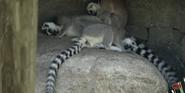 Tampa Lowry Park Zoo Lemurs