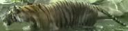 Virginia Zoo Tiger