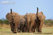 African-elephant-herd-alert