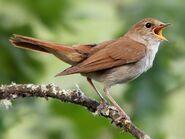 Common Nightingale (V2)