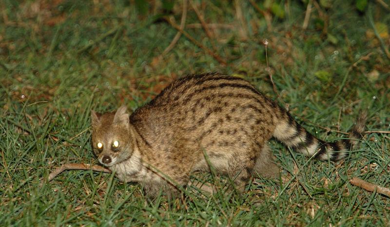Small Indian Civet