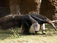 Giant Anteater (V2)