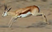 MMHM Springbok