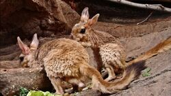 Male and Female East African Springhares.jpg
