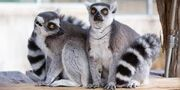 Male and Female Ring-Tailed Lemurs.jpg